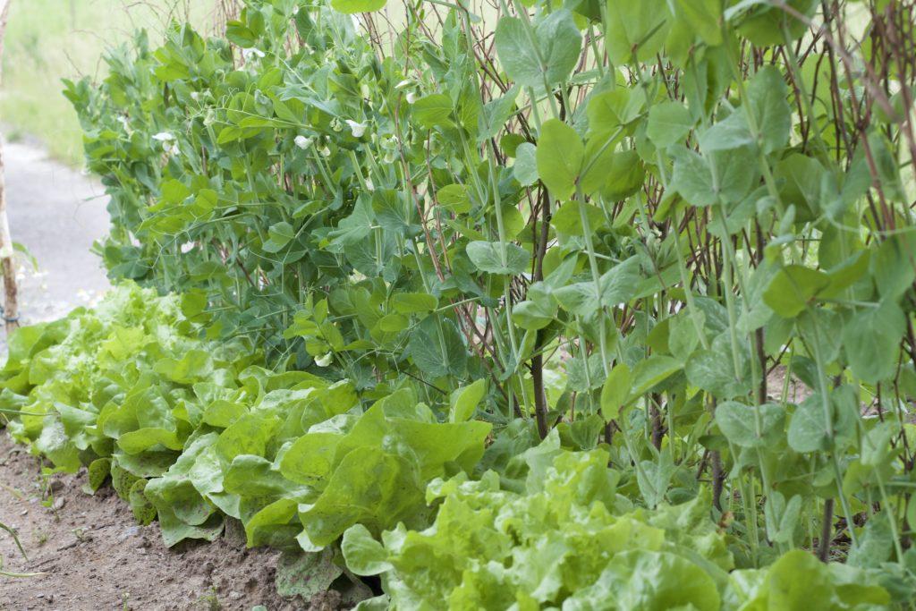 Mischkultur Erbsen Salat