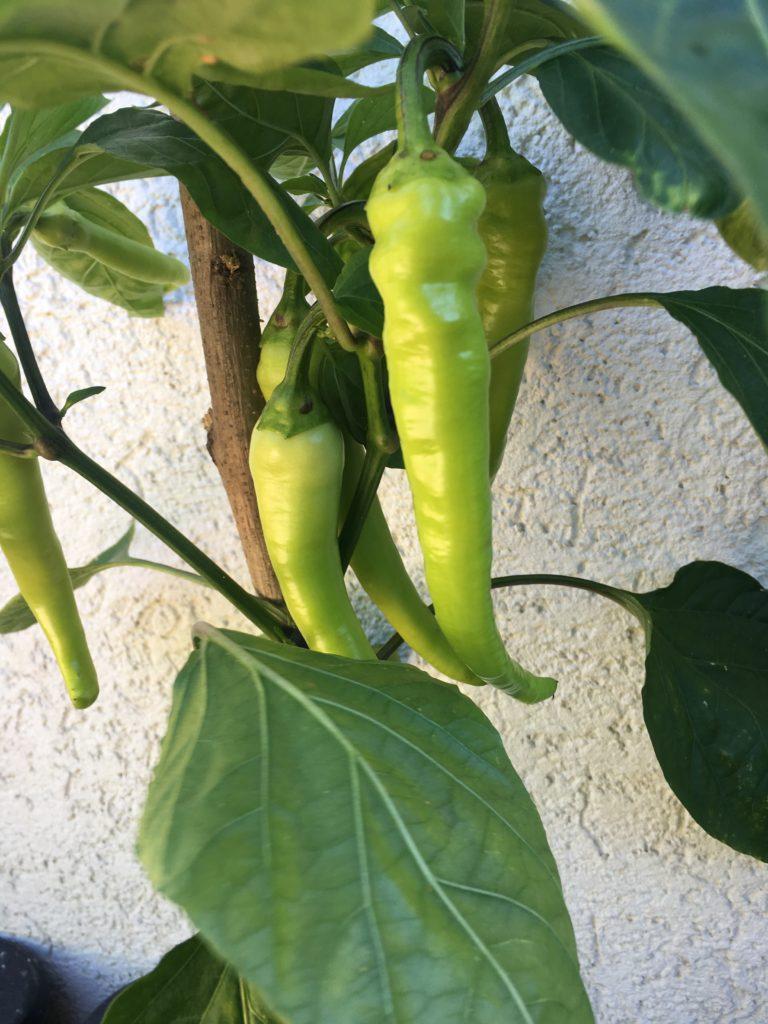Paprika im Kübel